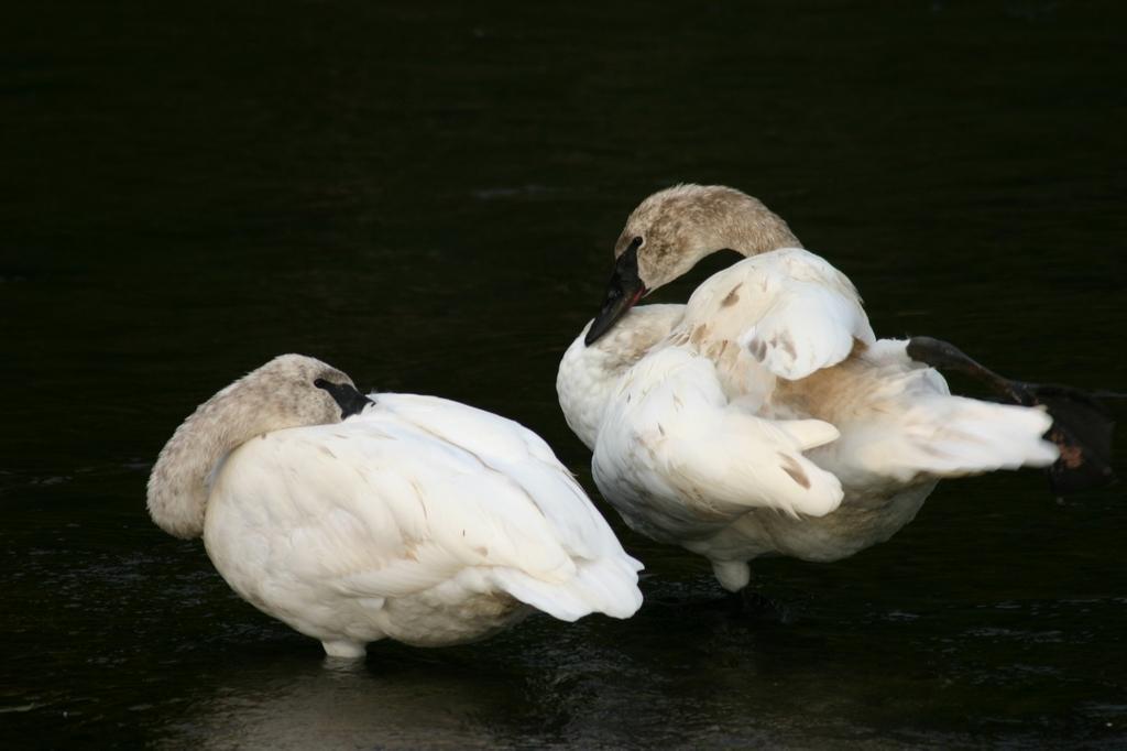 swans, yellowstone, yellowstone national park