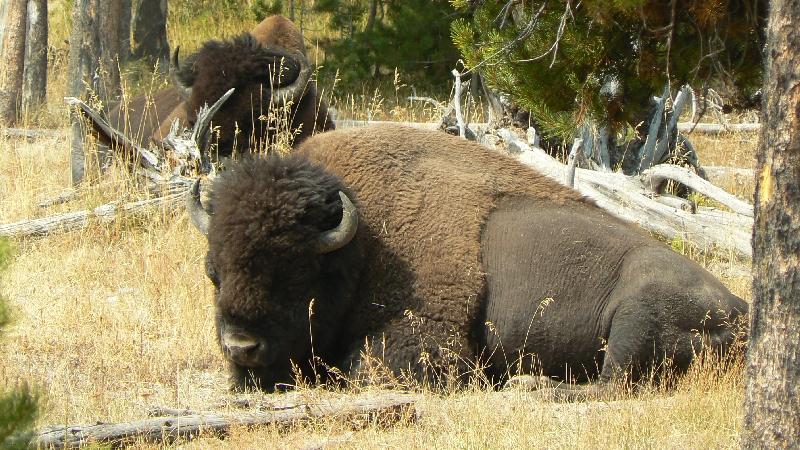 bison, yellowstone, yellowstone national park