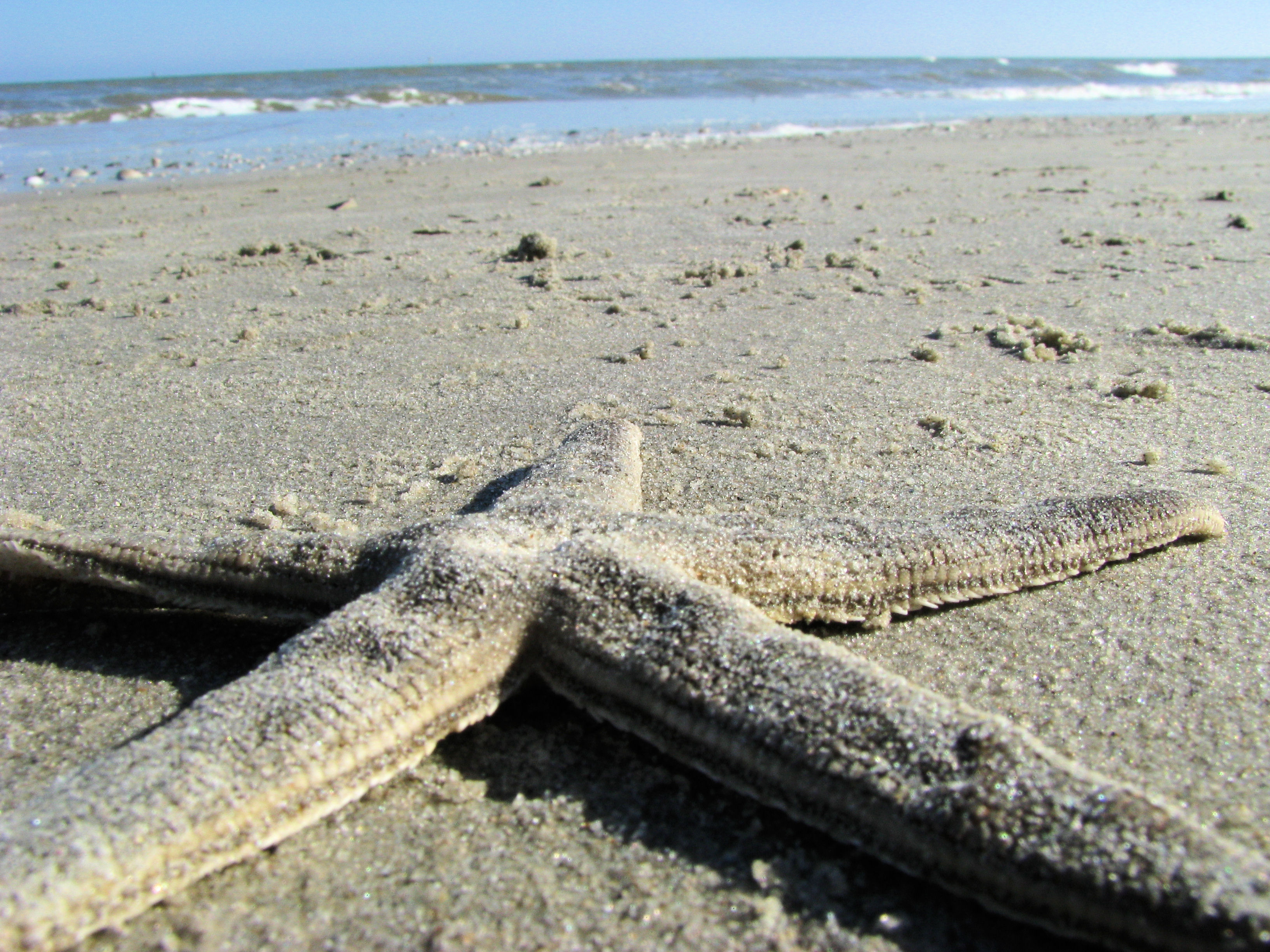 mustang island, mustang island state park, texas, gulf of mexico, starfish