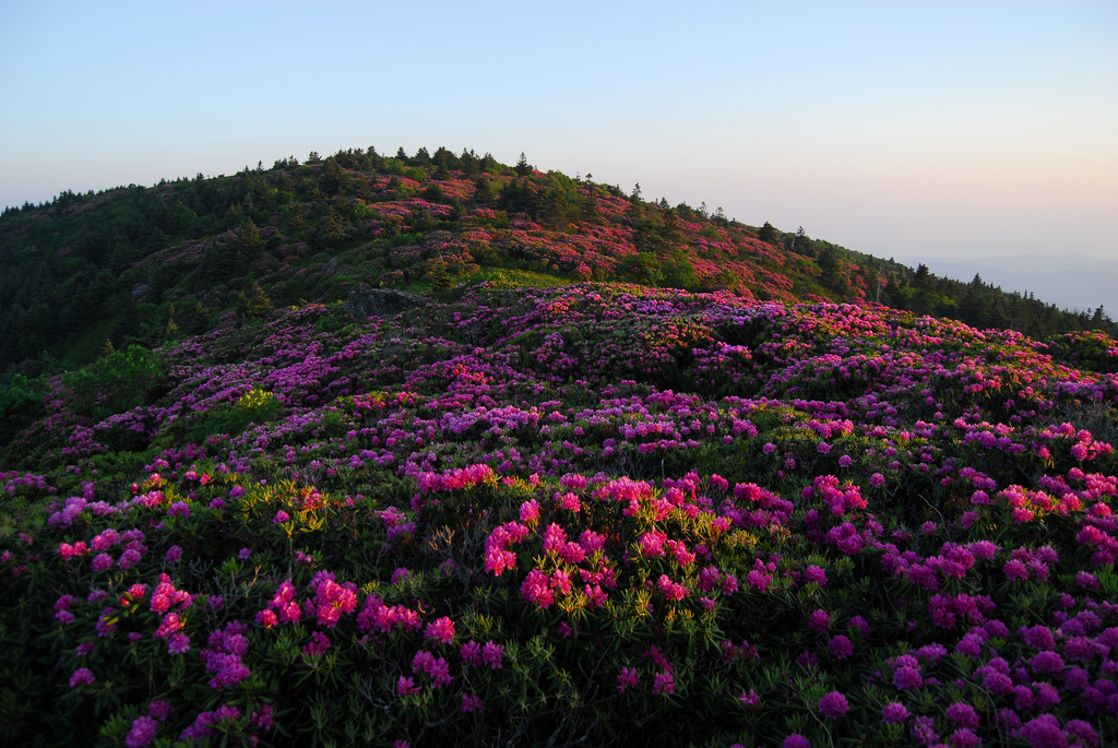 roan mountain, roan mountain state park, tennessee, rhododendrons
